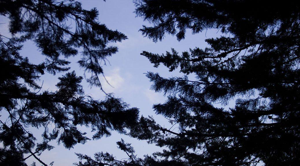 von unten durch tannenzweige in den blauen himmel fotografiert