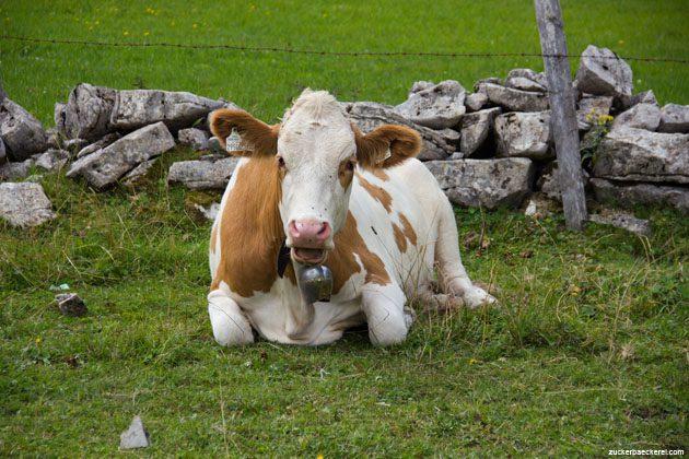 Die Kuh chillt