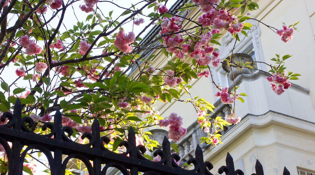 rosa blüten hinter einem gusseisernen zaun