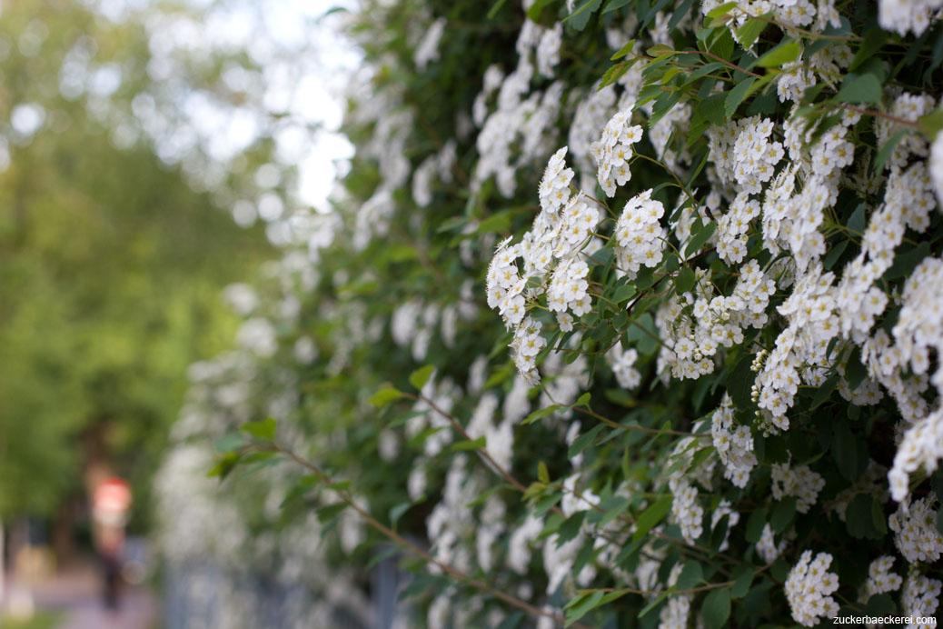 weiße blütenhecke