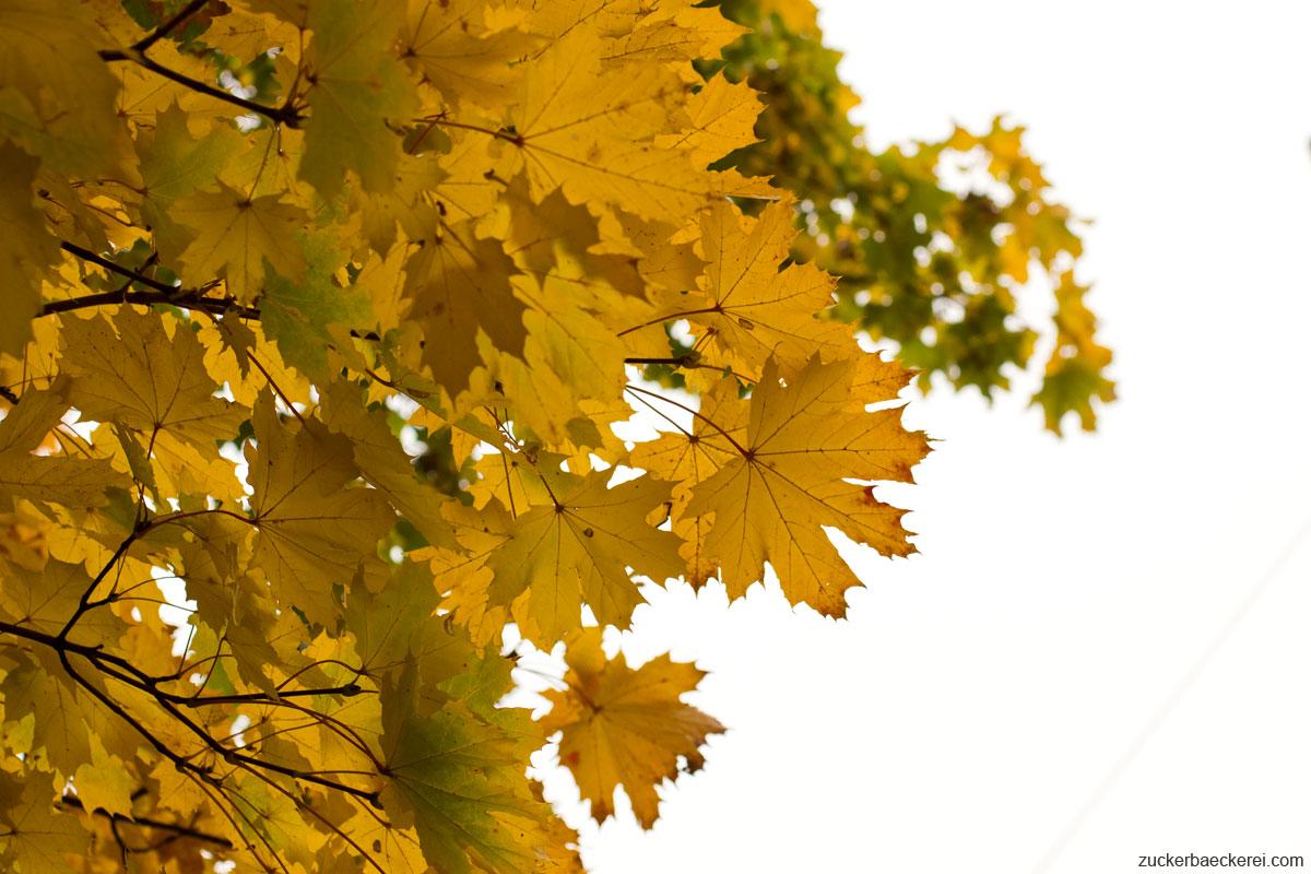 gelbe ahornblätter vor grauem himmel