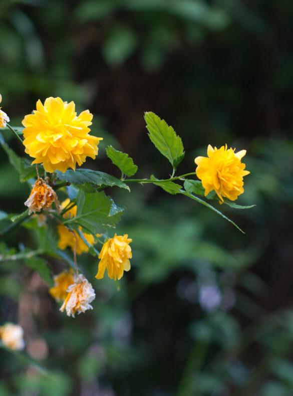 gelbe blüten an einem dunkelgrünen strauch